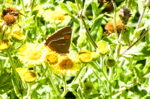 Brown hairstreak on fleabane.  R Burkmar