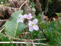 Cuckoo flower at Nettlecombe