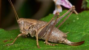 Dark bush cricket by David Williams